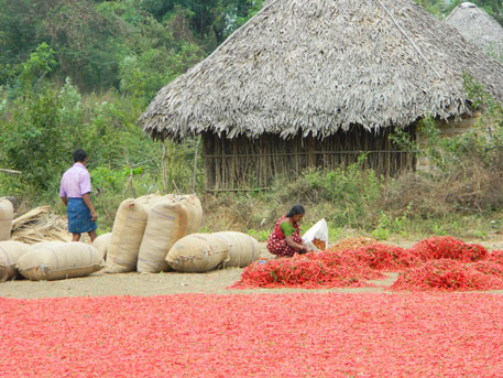 An adivasi woman dries red chillies in a village in Kunavaram block, Khammam, where all 50 villages will be submerged ( Photo: M Suchitra)