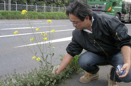 Wild-growing canola near Nagoya, suspected to be GMO (photograph courtesy Consumers' Union of Japan)