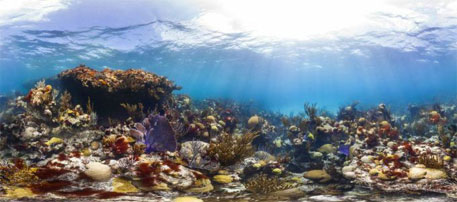 Hit by slime, Caribbean corals at risk of extinction