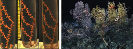 A coral specimen exposed to oil and dispersant displays declining in health over time. The picture on the furthest right is a healthy control sample.  (Right) The coral species Paramuricea in its natural habitat which was used for the experiment.
