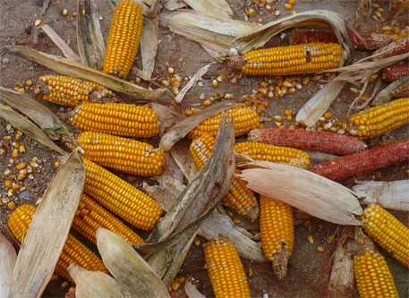 Brazil's GM corns no more resistant against bugs