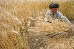 With human-induced global warming, the odds of  climate shift causing crop slowdown jumped to 1 in 10 for corn and 1 in 20 for wheat (Image courtesy FAO)