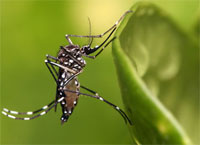 Dengue cases in 2012 highest in four years