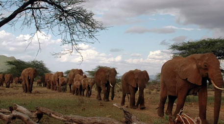 100,000 killed in 3 years, Africa may have no elephants in a few decades