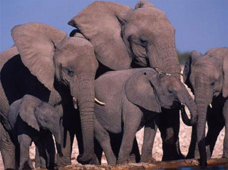 Elephant killings still exceed the natural elephant population growth rates and CITES has projected a continued decline in elephant numbers
