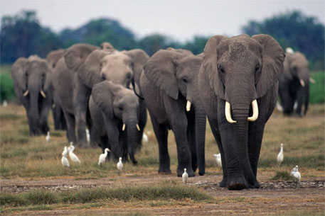 Africa's Tanzania loses 60 per cent elephants to poaching