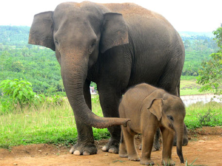 According to the research team, more than 50 elephants in captivity in the US have been diagnosed with tuberculosis since 1994 (Photo: elephantconservation.org)