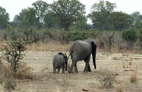 International outcry over Zimbabwe's plan to export elephant calves