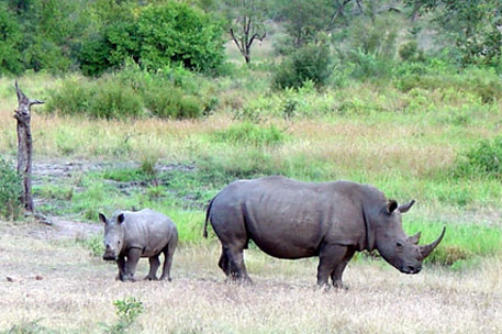 South Africa moves 100 rhinos to neighbouring countries