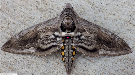 Air Pollution thwarting moths' food-hunting abilities