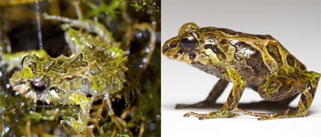 Scientists discover shape-shifting frog in Ecuador cloud forest