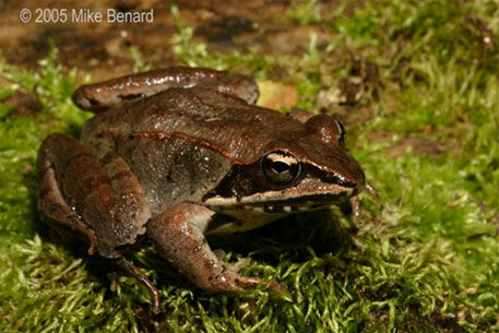 Global warming affects the breeding cycle of frogs, says study
