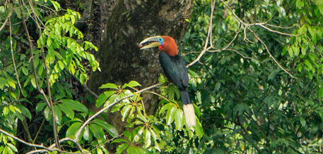 Most hornbill species in India are listed as vulnerable or near threatened by the International Union for Conservation of Nature (IUCN)