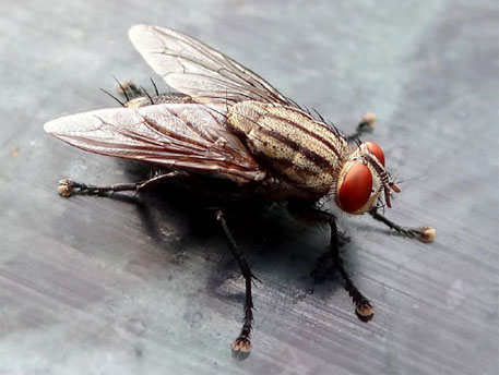 Scientists decode genes of the house fly