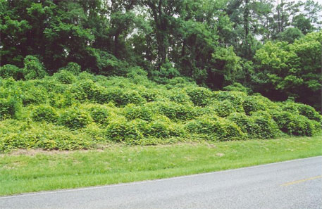 Growth of Kudzu at a locality in the US (Photo: Jan Kronsell)