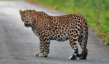 'Trapping leopards that stray into human habitat not the solution'