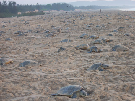 Mass nesting of Olive Ridley turtles in Odisha coast has increased constantly over the years, say wildlife department officials (photo by Asish Senapati)
