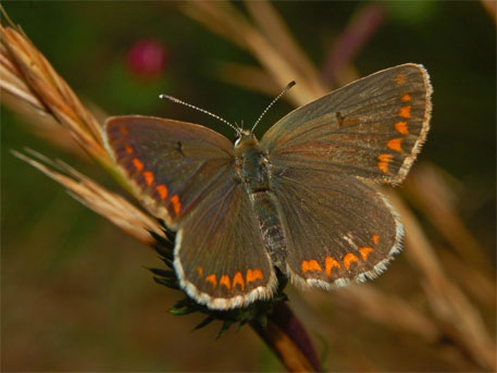 British Butterfly adapts to climate change by migrating north, changing diet