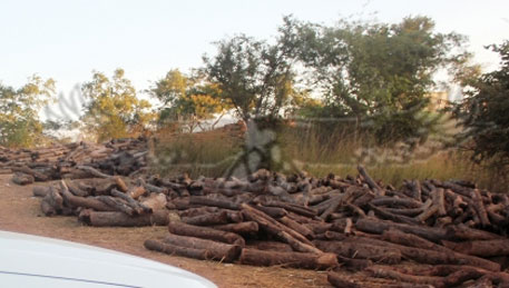 Illegal timber trade threatens survival of Mukula tree in Zambia