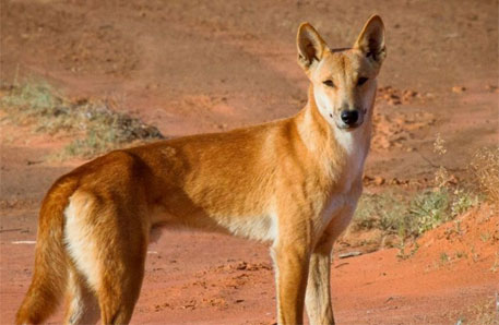 Dingoes could help in saving Australia's native wildlife: conservationists