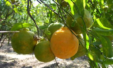 GI tag for Nagpur orange to benefit both farmers and consumers