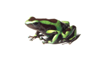 Poison dart frogs are threatened by fungal infections that paralyse their immune response