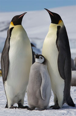 Emperor penguin at risk from global warming