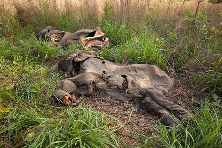 The number of elephant carcasses sighted in Mozambique between 2009 and 2011 has increased from 83 to 271