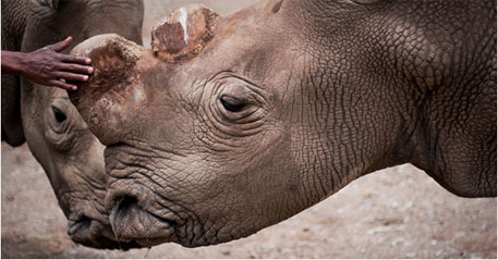Northern white rhino on verge of extinction