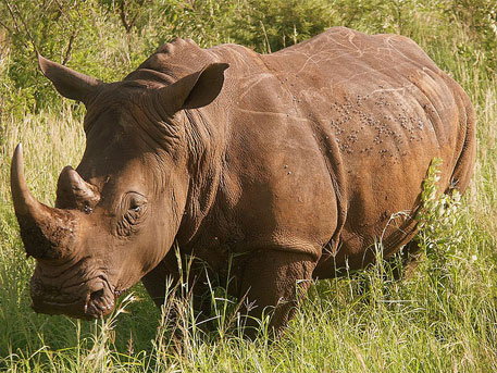 Rhino poacher in South Africa awarded record 77 years in jail