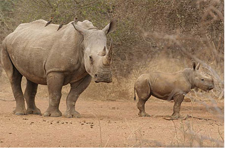 Unable to contain poaching, South Africa shifts rhinos to secret locations
