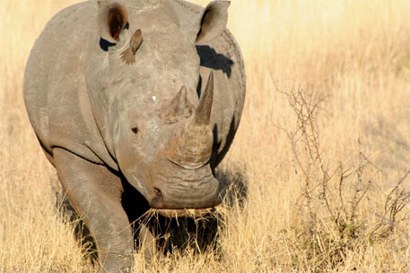 One of last six northern white rhinos dies in US zoo