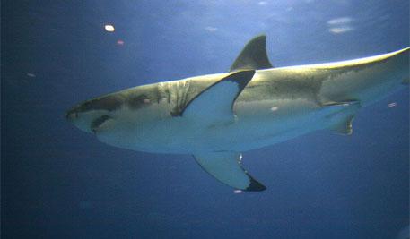 Great white shark in captivity at Monterey Bay aquarium (Source: Wikimedia Commons)