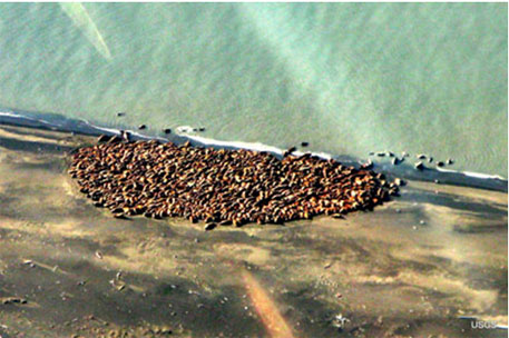 Loss of Arctic ice forcing walruses to take shelter on shores