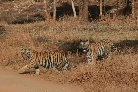 Low tiger population haunts newly notified Navegaon-Bandh Nagzira reserve