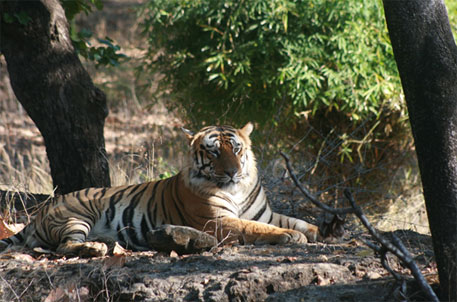 With 274 tiger deaths in four years, India records highest toll between two censuses