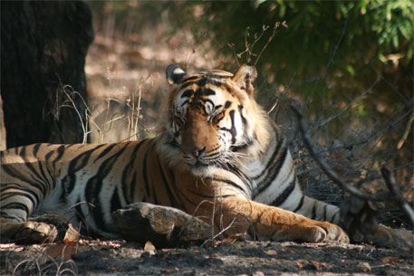 Allow rich people with large farmlands to keep tigers as pets, says MP minister