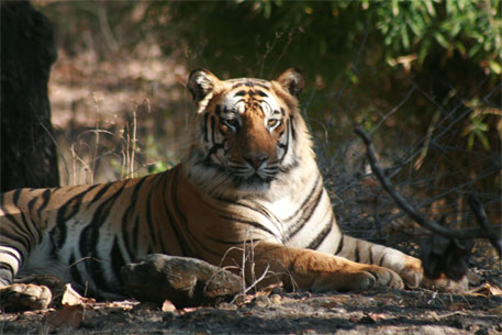 Stop illegal eviction of tribes from Kanha Tiger Reserve, urge activists