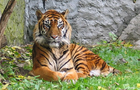 'Raising palm oil prices can help to conserve Sumatran tigers'