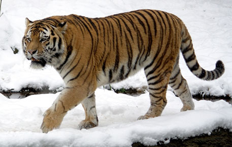 Are Amur tigers 're-wilding' China?