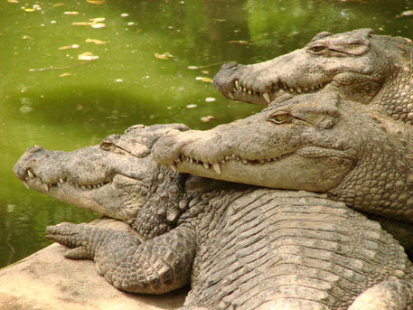 Fifth of the world's reptiles threatened by extinction: study