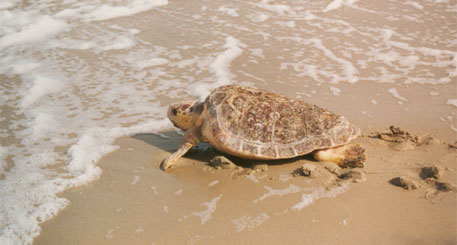 Scientists tag Loggerhead sea turtle off the US west coast