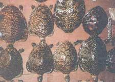Turned turtle