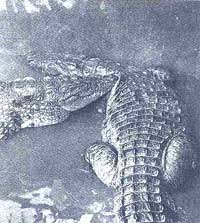 New strategy suggested to save crocodiles
