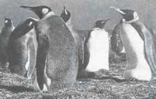 A colony of emperor penguins i