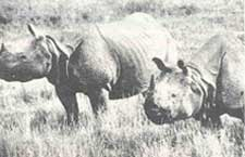 Rhino census