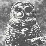 Clinton caught between loggers and the owl