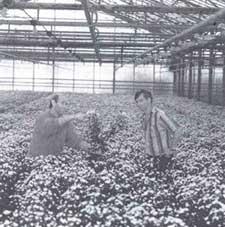 Dutch growers examine chrysant