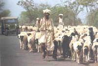 Pastoralists at the crossroads