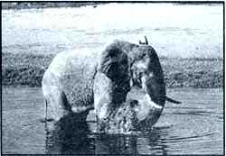 Elephantine problem